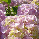 """Hydrangeas Flowers art prints Pink Pastel Floral"" by BasleeTroutman"