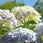 Sunlit Flowers art prints Pastel Hydrangea Flowers