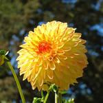 """""""Dahlia Flower Garden art prints Botanical Summer"""" by BasleeTroutman"""