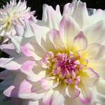 """White Dahlia Flowers art prints Botanical Baslee"" by BasleeTroutman"