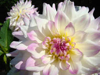 White Dahlia Flowers art prints Botanical Baslee