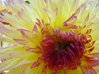 Yellow Red tipped Dahlia Flower Floral