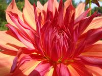 Dahlia Flower Floral art prints Orange Red Dahlias