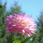 """""""Summer Botanical Garden art prints Dahlia Flower"""" by BasleeTroutman"""
