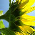 """Bright Sunlit Yellow Sunflower art prints"" by BasleeTroutman"
