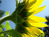 Bright Sunlit Yellow Sunflower art prints