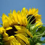 """Yellow Sunflower budding Floral art prints"" by BasleeTroutman"