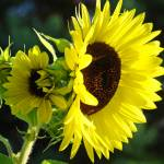 """Sunlit Yellow Sunflowers art prints Botanical"" by BasleeTroutman"