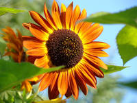 Orange Sunflower art prints Colorful Garden