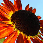"""Orange Sunflower Summer Floral art prints"" by BasleeTroutman"