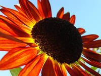 Orange Sunflower Summer Floral art prints