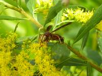 Wasp on Goldenrod