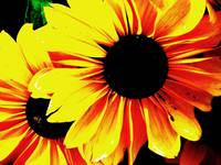 Black Eyed Susan Pop Art