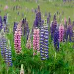 """Federal Way Lupine"" by hershmanphoto"