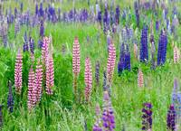Federal Way Lupine