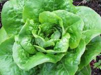 Juicy Lettuce
