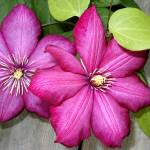 """clematis"" by Brightwood"