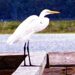 """egret oil"" by Brightwood"
