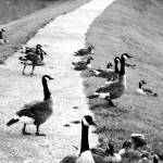 """Geese"" by hedge"