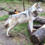 """Wolf 1"" by cdufer"
