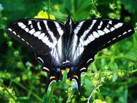 Insect Macro - Zebra Swallowtail Butterfly