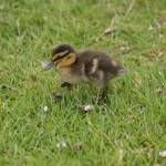 """CDB_2443-MallardDuckling"" by ChrisBarry"