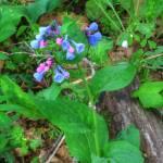 """""""Virginia Bluebells (IMG_1776+)"""" by jvandyke"""