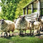 """""""Sheep on the Farm"""" by InspiraImage"""