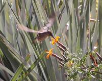 giant humming bird