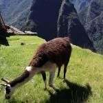 """""""llamas of machu pichu"""" by gruntpig"""