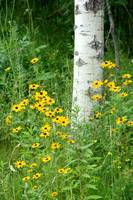 Susans and a Birch Tree