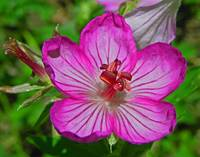 Botanical - Purple Wild Geranium