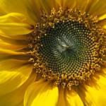 """Sunflower"" by mjphotography"