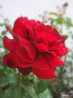 Red Rose Edges