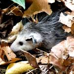 """Opossum in the Leaves"" by Kimmary"