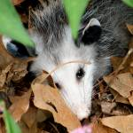 """""""Portrait of an Opossum"""" by Kimmary"""