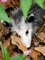 Portrait of an Opossum