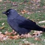 """Jackdaw(Corvus Monedula)"" by andrewawk"