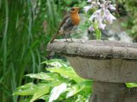 Beautiful little Robin(Erithacus Rubecula)