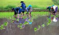 picking rice 2