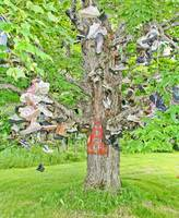 The Old Shoe Tree