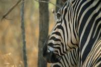 the zebra's eye