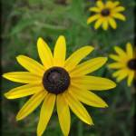 """Black Eyed Susan"" by adifferenteyephotography"
