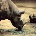 """""""Black Rhino"""" by calo"""