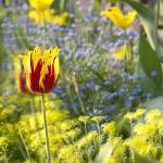 """tulip"" by dkumarpun"