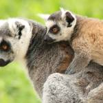 """Mother and baby lemur"" by Funcards"