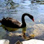 """Black Swan"" by martinographics"