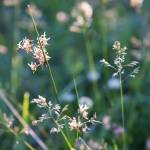 """""""Saxifrage and Grass"""" by kempscamera"""