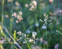 Saxifrage and Grass