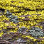 """Lichen-Covered Rock"" by FrankZullo"